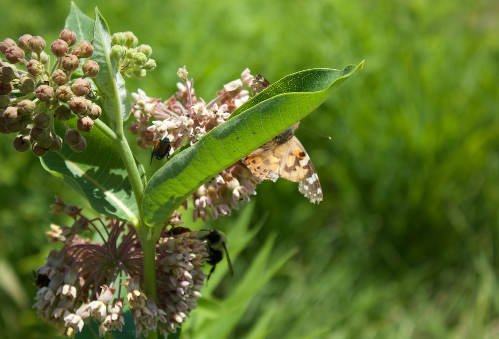Blue Sky Daycare children notice a milkweed plant supporting many insects