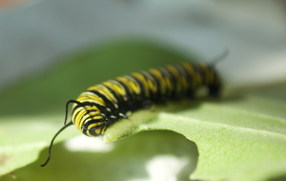 A Monarch caterpillar being raised by Blue Sky Daycare home daycare children