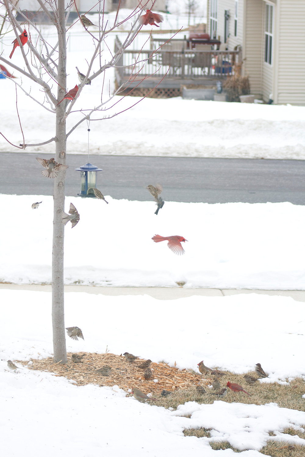 Birds flocking at Blue Sky Daycare home daycare during the Great Backyard Bird Count 2015