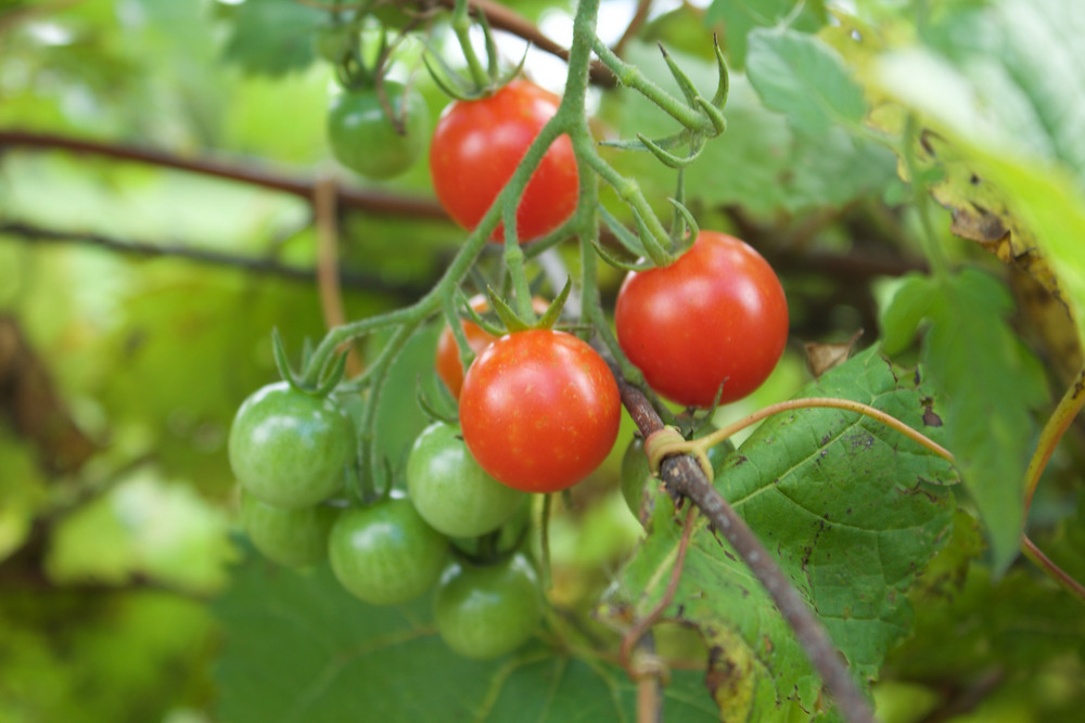 Ripe tomatoes on plants grown by Blue Sky Daycare home daycare children