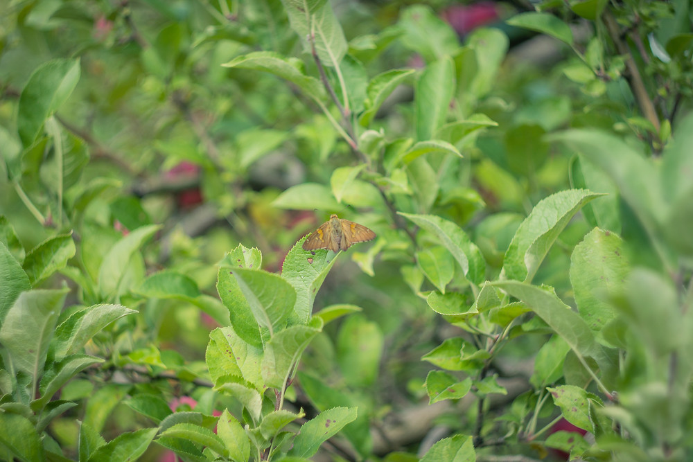 A butterfly passing through at the Homestead Orchard