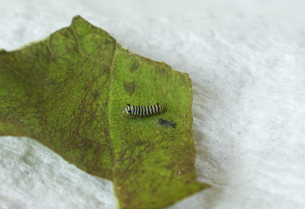 A Monarch butterfly caterpillar being raised by Blue Sky Daycare home daycare children