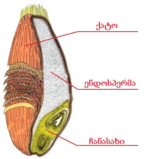 wheat-kernel.jpg