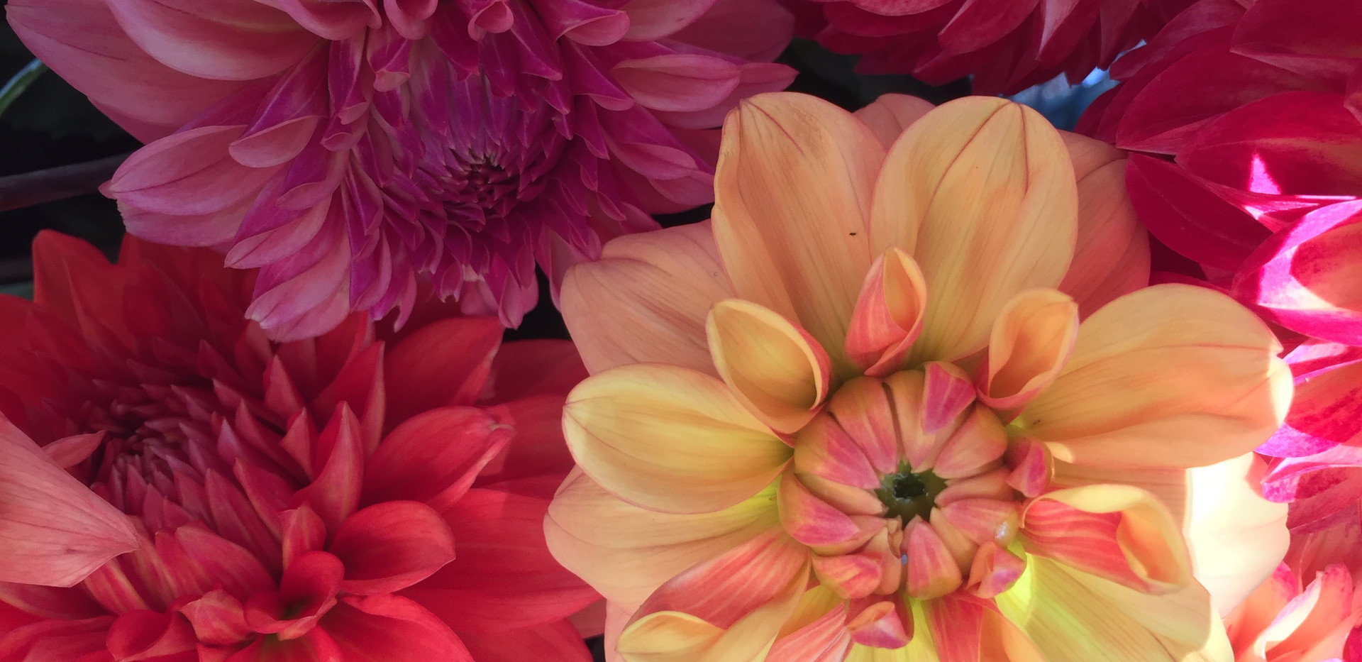 Cheery Dahlias