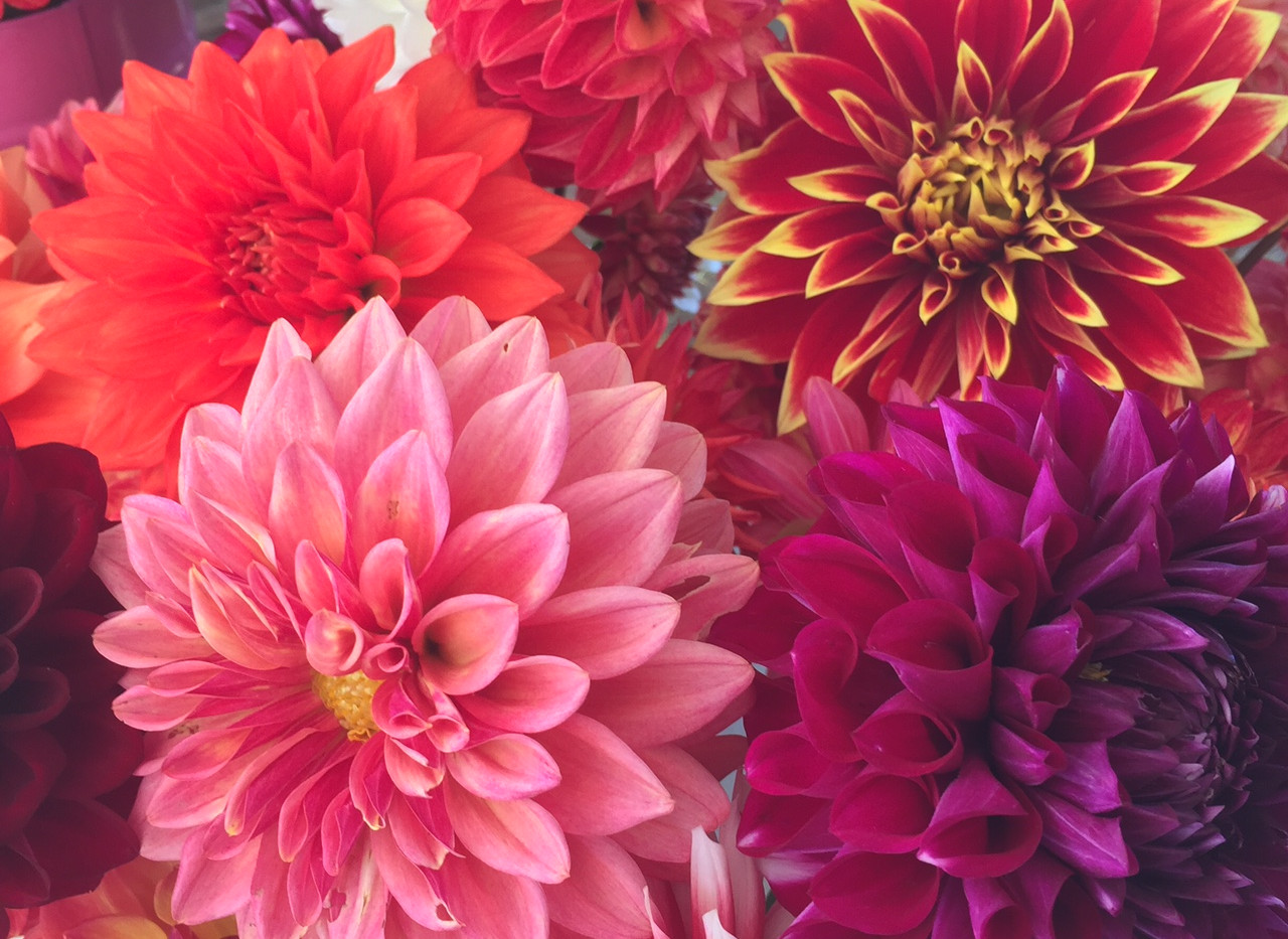 Rainbow of dahlias