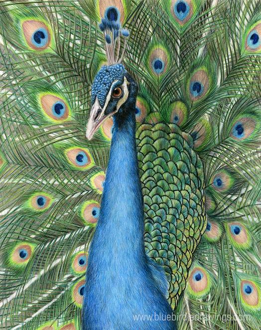 peacock_www.jpg