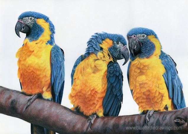 three_macaws_www.jpg