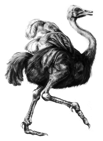 Charcoal Ostrich by Lucy Boydell