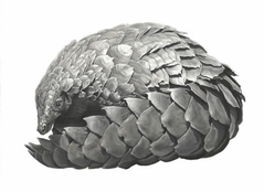 Charcoal Pangolin by Lucy Boydell