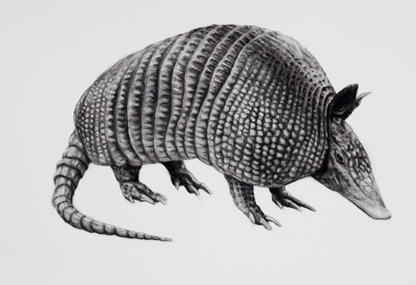 Charcoal Armadillo by Lucy Boydell