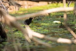 Poussin de Gallinule poule-d'eau (Gallin