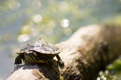 Jeune tortue de Floride (Trachemys scrip