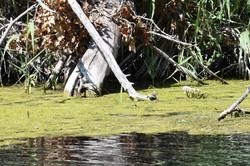 Jeune tortue de Floride