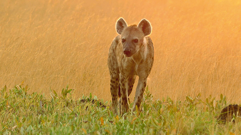 hyenaslostprince.jpg