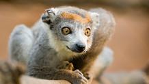 Crowned Lemurs & the Crocodile Caves