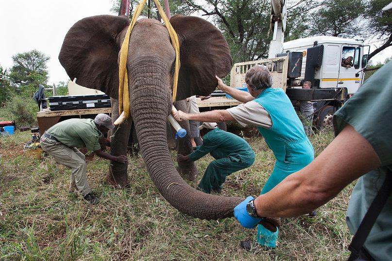 elephanttranslocation.jpg