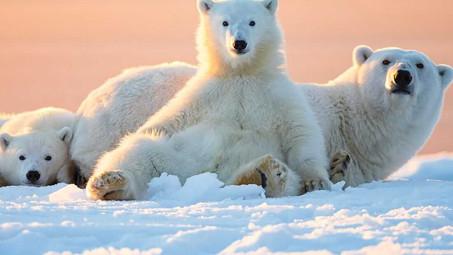 Great North Bear