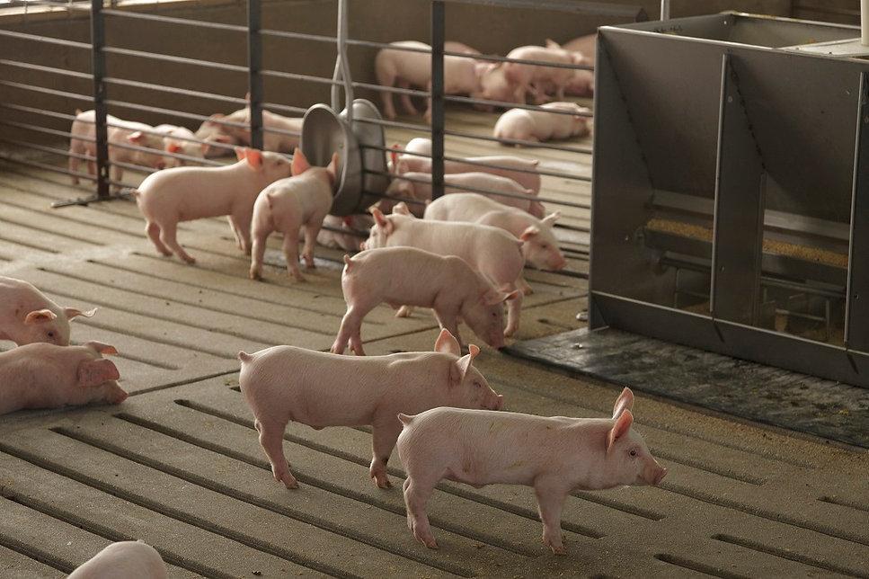 Nursery pigs 4.jpg