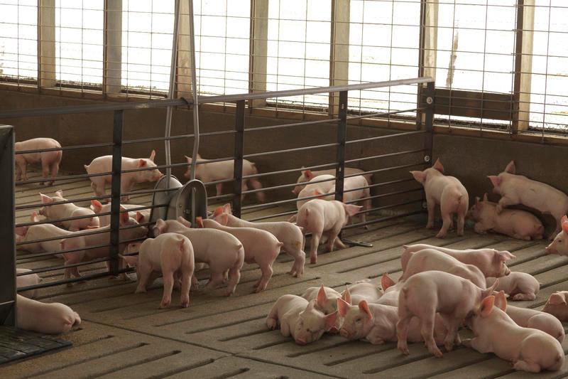 Nursery pigs 2.jpg