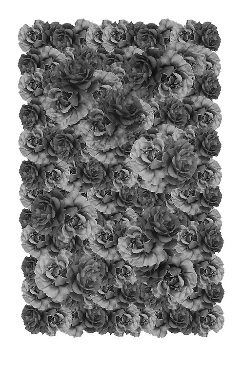 Black Roses  Dibond Format 80 x 120 cm