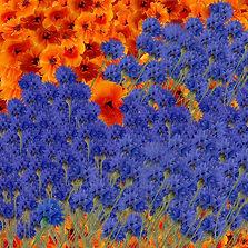 Coquelicot et Bleue. Fleurs des champs. 50 x 50 cm