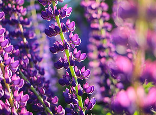 blooming-purple-pink-and-blue-lupin-lupi