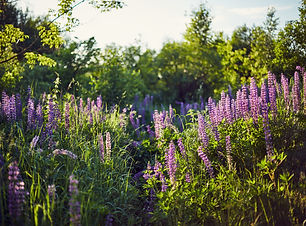 purple-lupine-blooms-closeup-of-bright-f