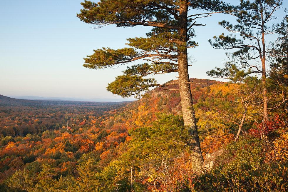 big-pine-on-hillside-in-fall-color-in-mi
