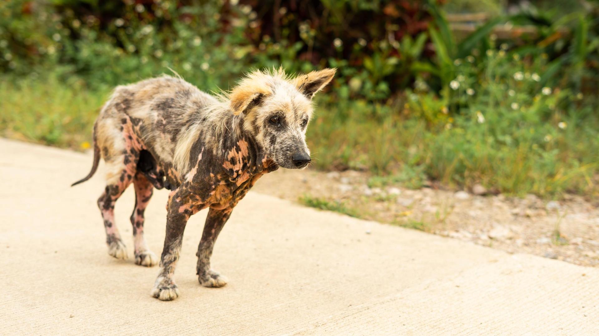 Bali Stray Dog