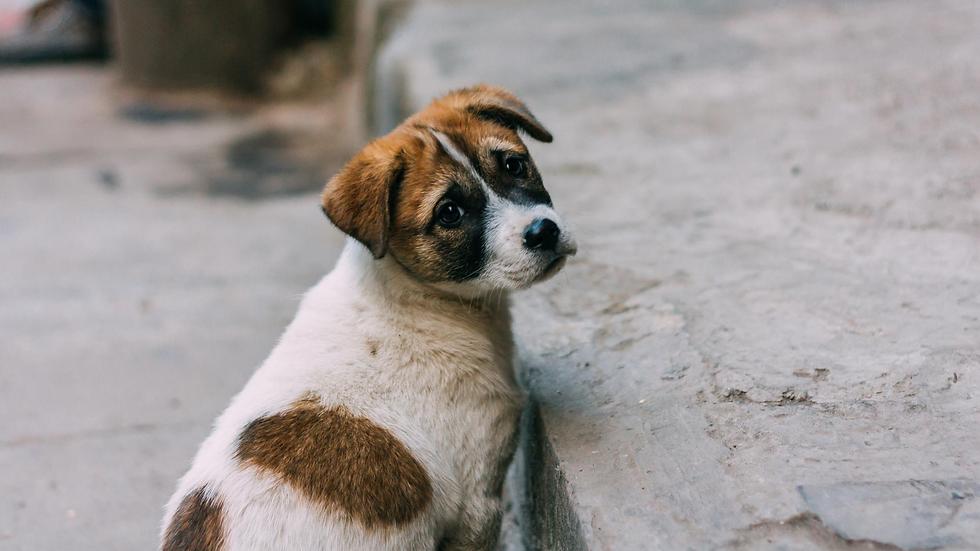 Bali Stray Dog .png