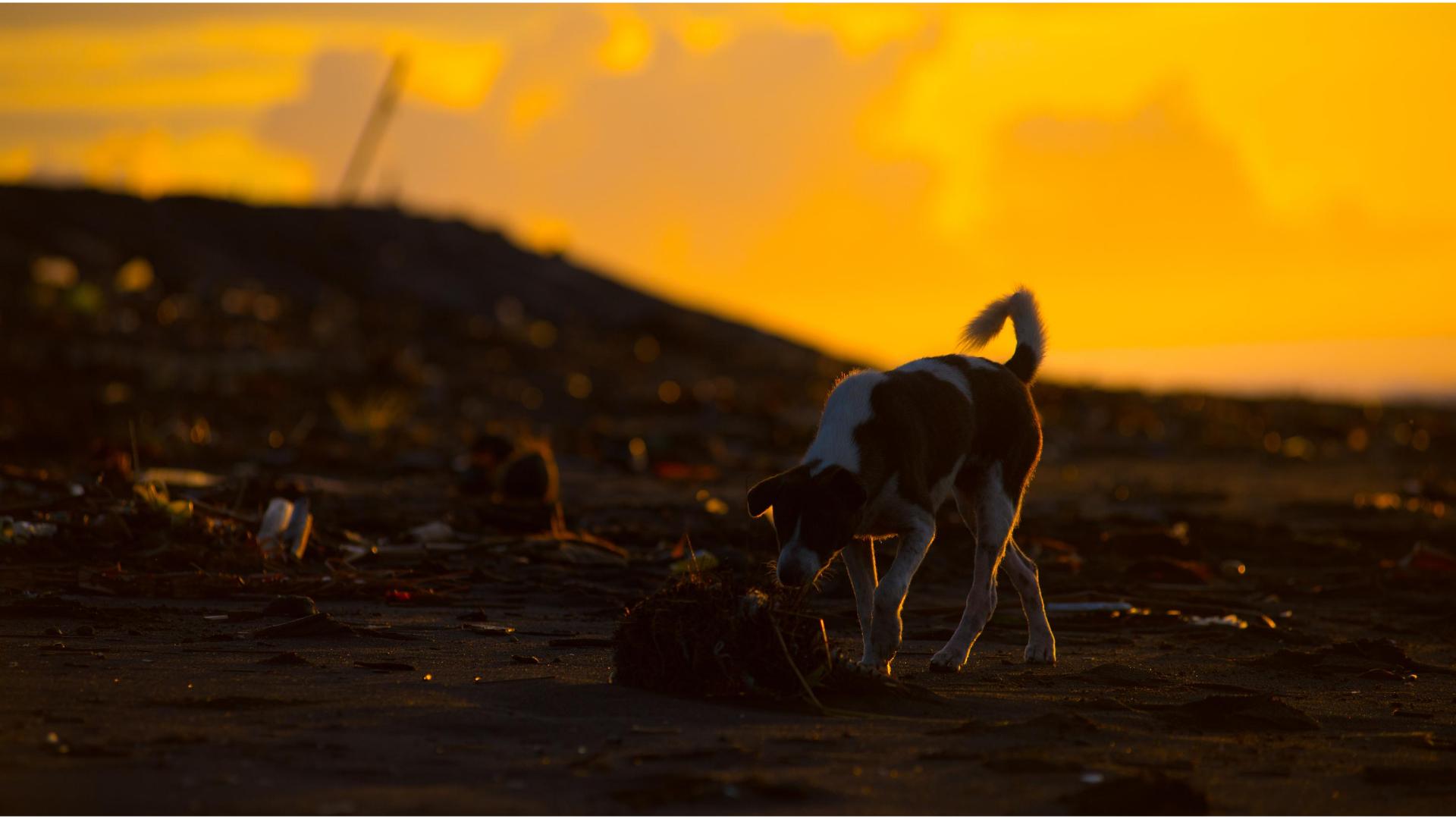 Bali Dog searching Food on the Beach