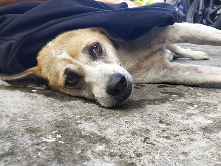 Heavy injured dog rescued by bali dog association