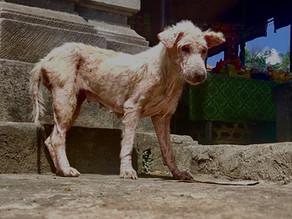 Helping the Bali Dog's