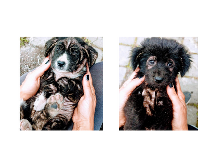 Bali Dog Association took in 2 rescue puppies from Ubud Bali yesterday night who needed help ASAP.