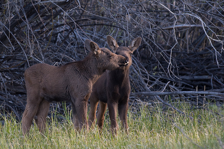 Town news and announcements link on photo of twin baby moose.