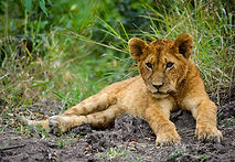 young lion.jpg
