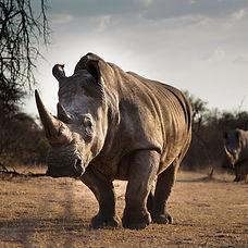 large rhino.jpg