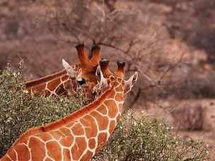 Samburu-Pixabay-Giraffe-2-No-Credit-Requ
