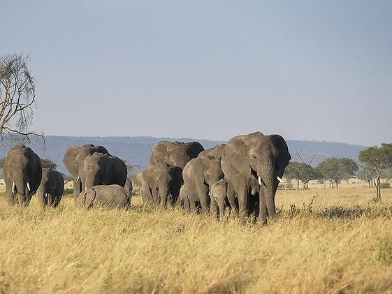 bigstock-An-Elephant-Herd-Walking-Towar-