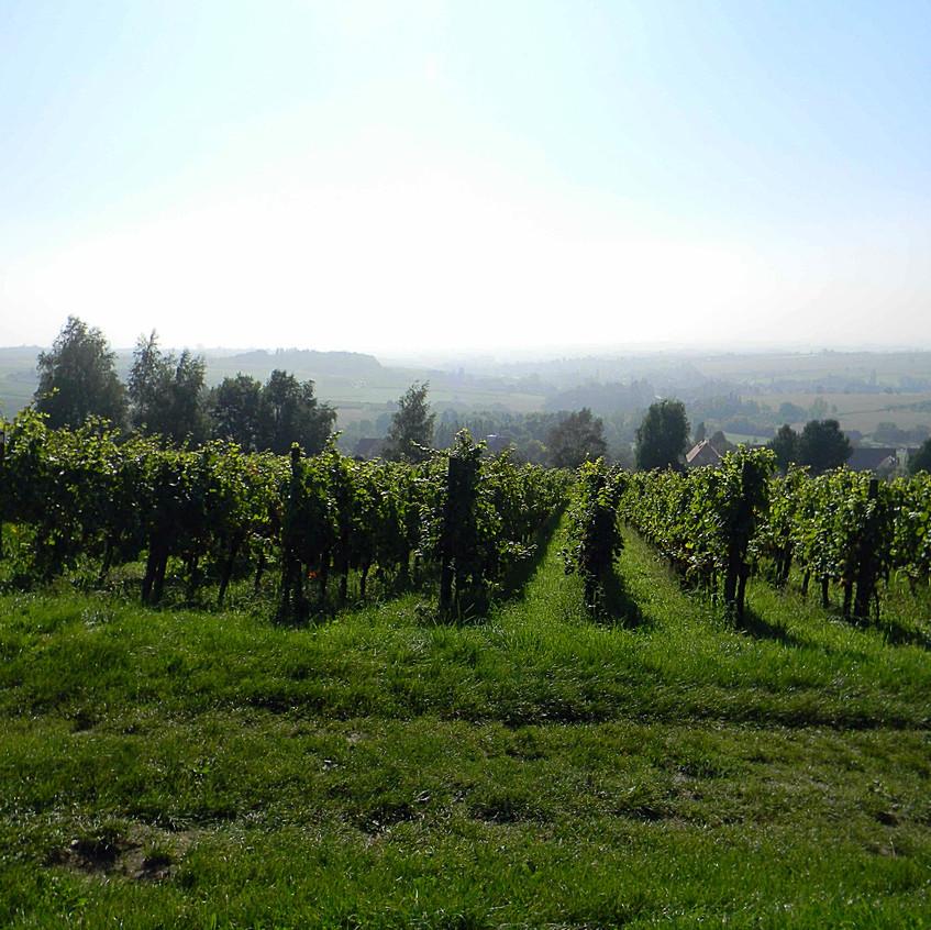 Pfalz, Weinberge