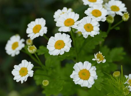 Herbs for headaches
