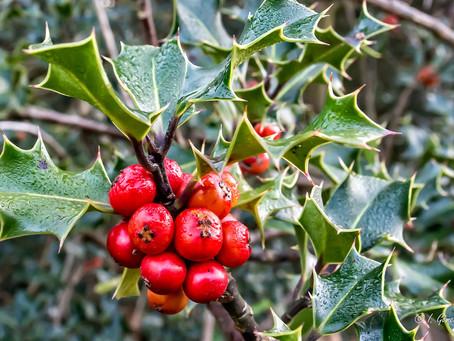 Festive herbs for winter health