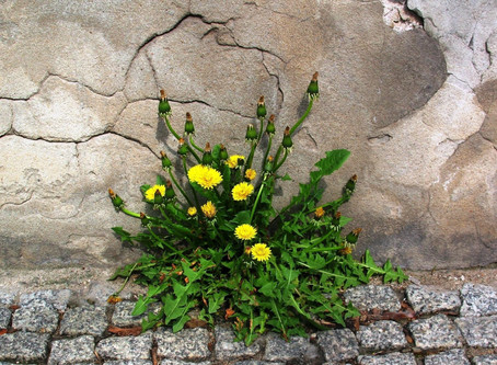 Herb of the Month: Dandelion