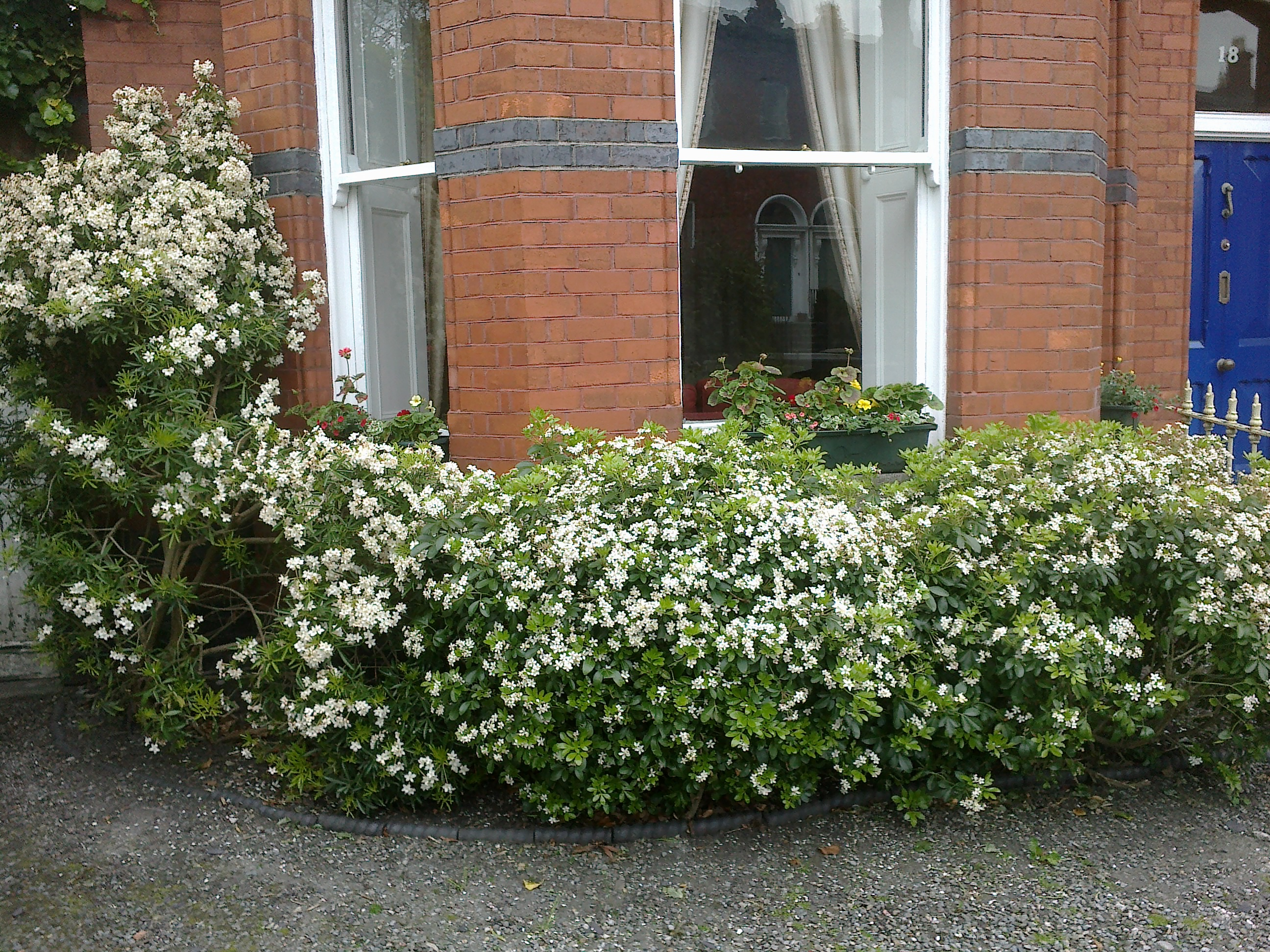 The front garden choisya and orange blossom