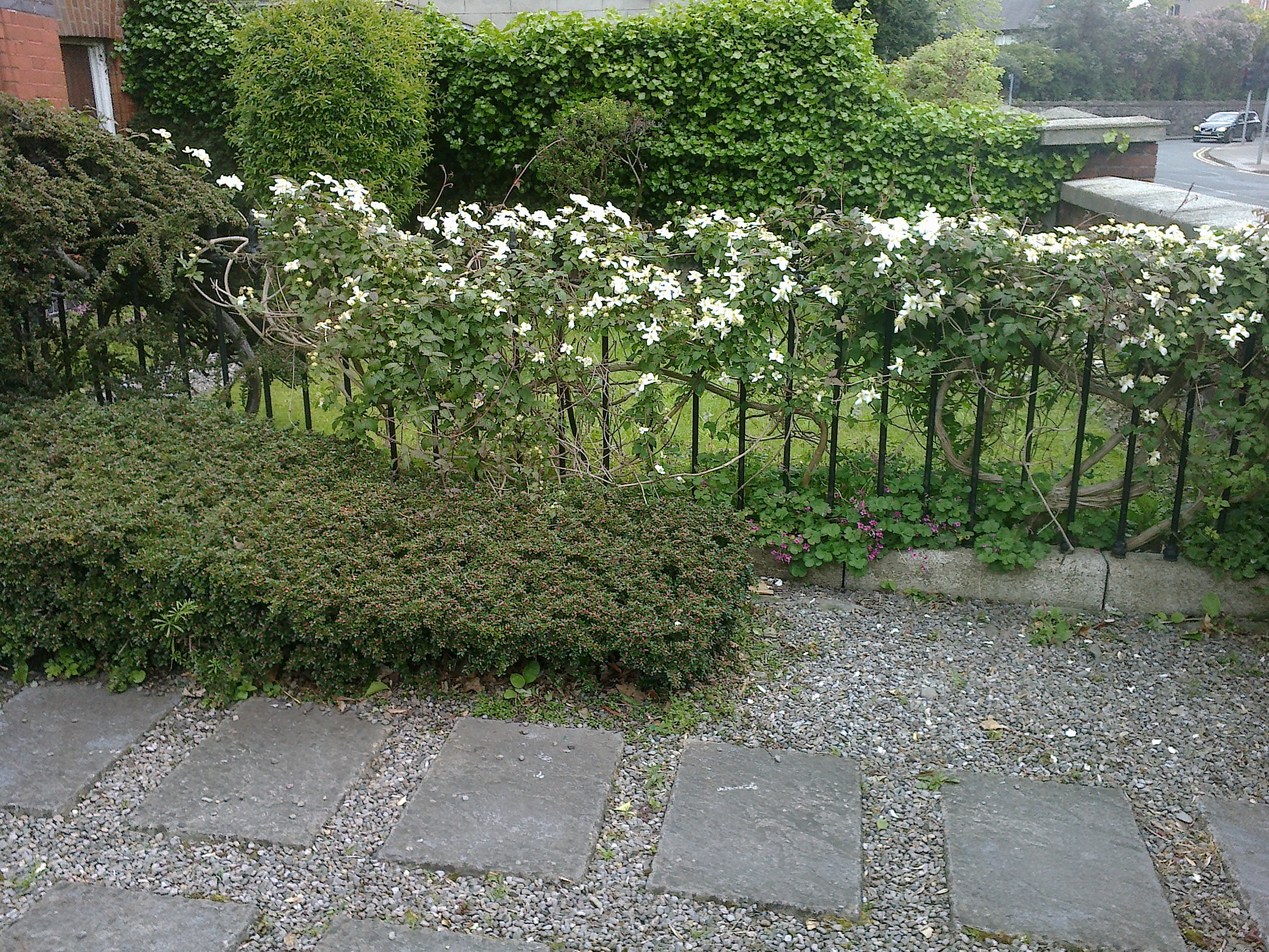 The front garden clematis on the railings