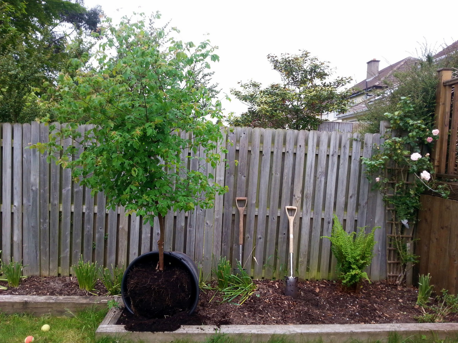 4. Acer griseum