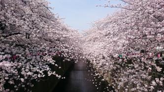 さくら。咲く。満開。。*
