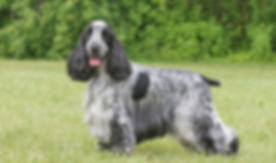 COCKER SPANIEL INGLES O1.jpg