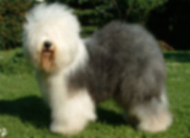 OLD ENGLISH SHEEPDOG 01.jpg