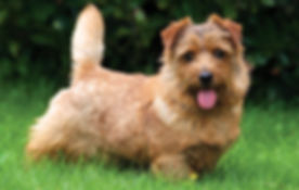 NORFOLK TERRIER 01.jpg